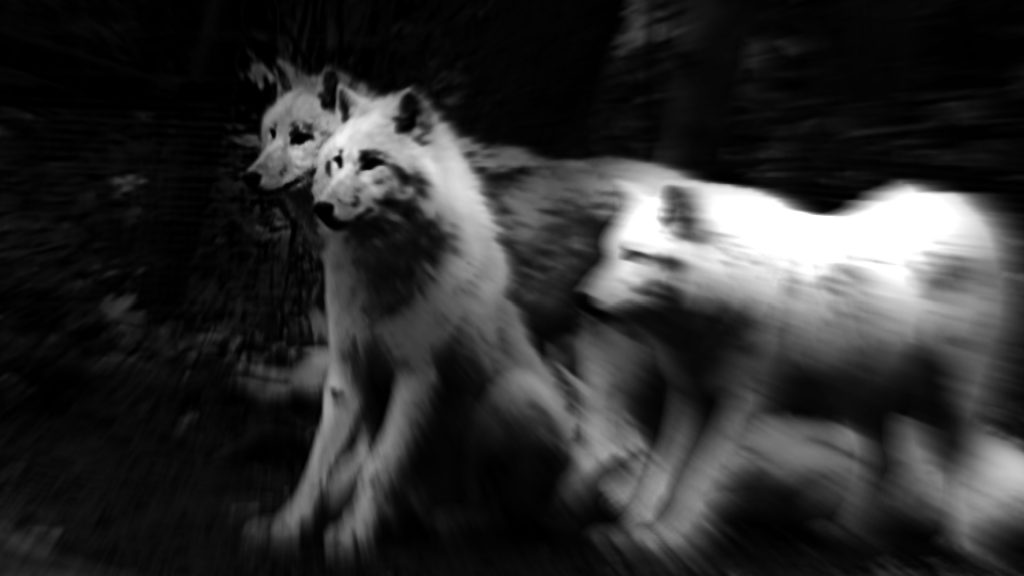 filmstill from every body, diagonale trailer depicting wolves,  michaela grill